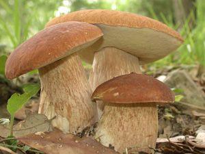 Три белых гриба растут в лесу