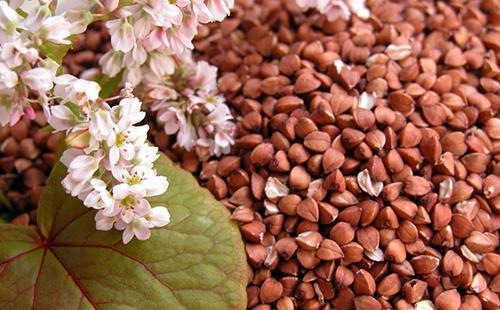 Гречка полезна во всех отношениях, а её цветы нежны, красивы и полны вкусного мёда