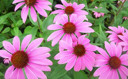 Розовые цветы эхинацеи