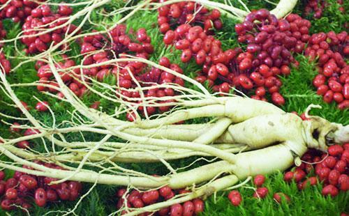 Ягоды и корни женьшеня