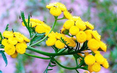 Желтые цветы пижмы