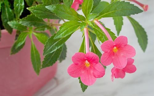 Розовые домашние цветы