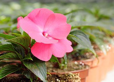 Розовый теплолюбивый цветок