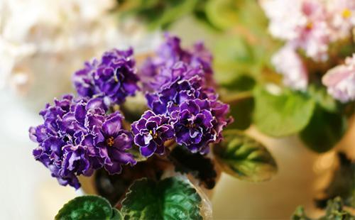 Фиолетовая махровая фиалка