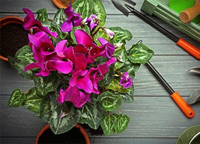 Розовые цветы цикламена