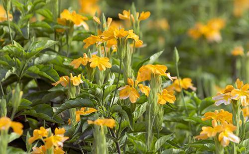 Обильное цветение кроссандры