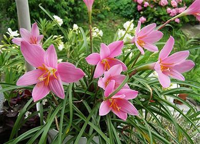 Цветы зефирантеса