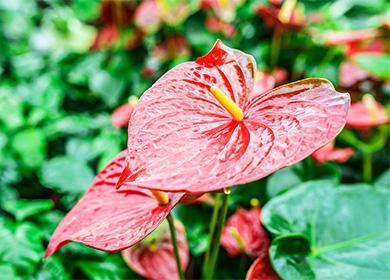 Антуриум правильный уход за цветком