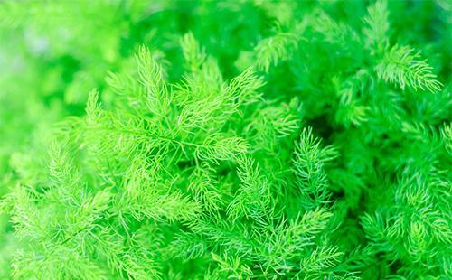Зелень аспарагуса