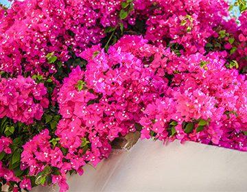 Цветок бугенвиллия - уход, размножение и посадка в
