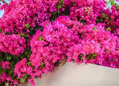 Розовые цветы бугенвиллии