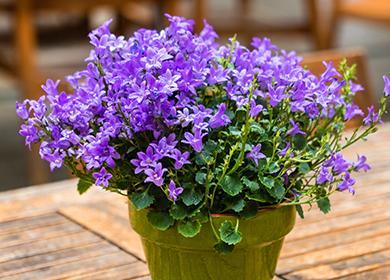 Шапка цветущих лиловых колокольчиков