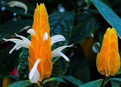 Желтый цветок пахистахиса