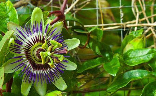 Цветок и листья пассифлоры