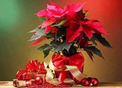Пуансетия - рождественская звезда
