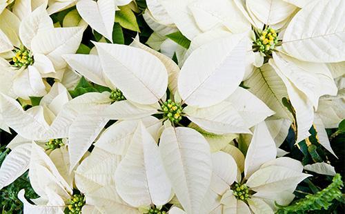 Белые цветы пуансетии