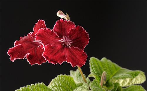 Бордовый цветок стрептокарпуса