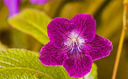Цветок стрептокарпуса
