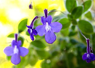 Голубой цветок стрептокарпус