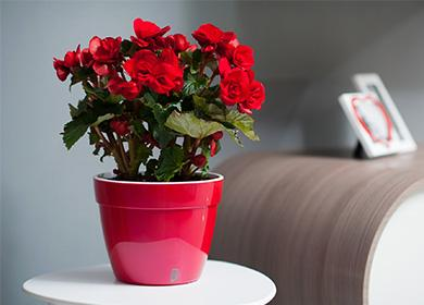 Бегония домашних условиях уход и пересадка