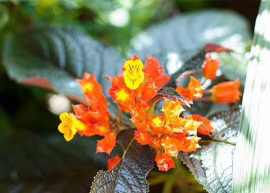 Эписция с цветками