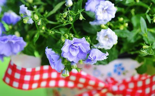 Махровые голубые цветы