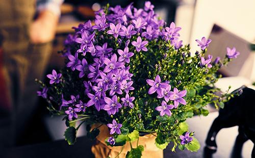 Лиловые цветы в горшочке