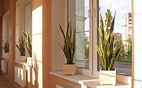 Ряды трёхполосной сансевиерии на освещённых окнах