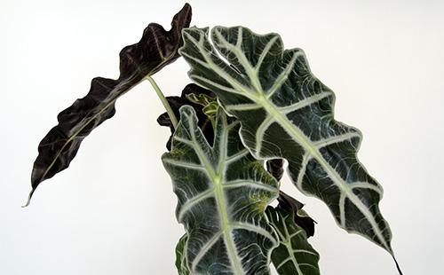 Темно-зеленые листья алоказии