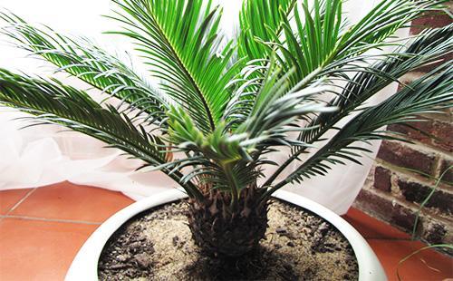 Пальма декоративная - цикас