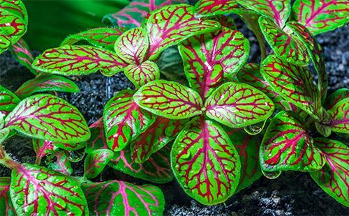 Ярко-зеленые листья фиттонии
