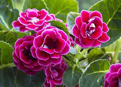Розовые цветы глоксинии