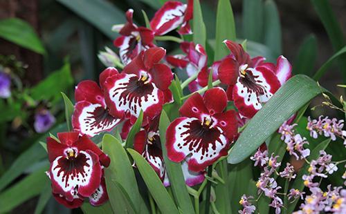 Красные цветы мильтонии
