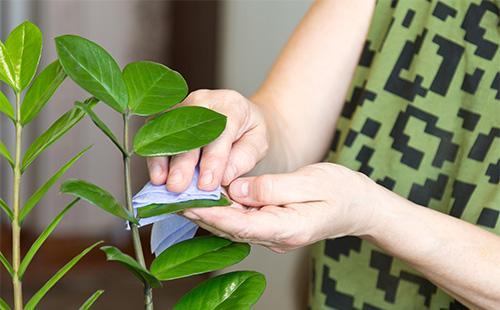 Вытирает листья замиокулькаса
