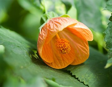 цветок с длинными листьями название фото