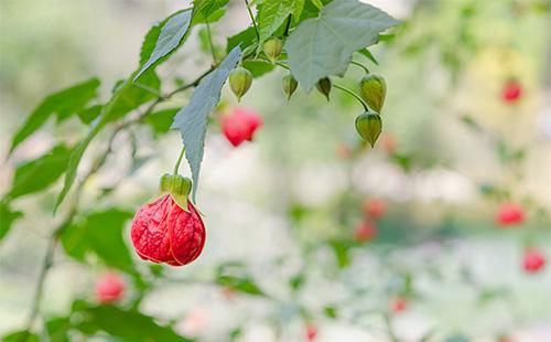 Красные цветы абутилона
