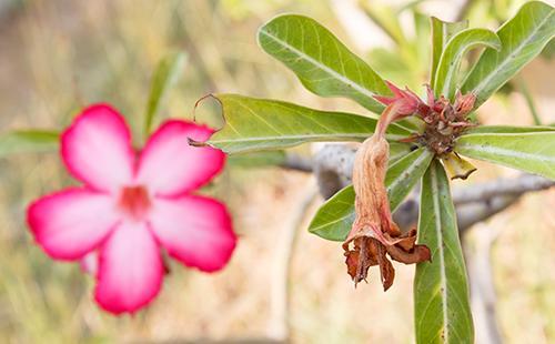 Увядший цветок пустынной розы