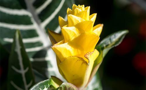 Цветок афеландры