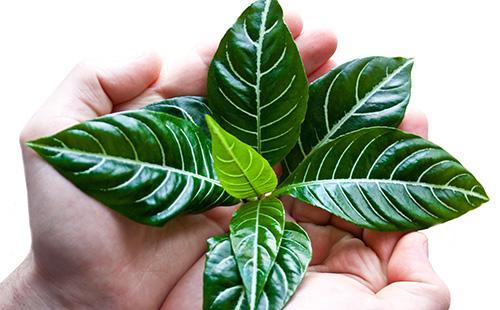 Листья афеландры