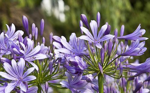 Голубые цветы африканской лилии