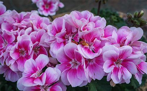 Цветение бальзамина