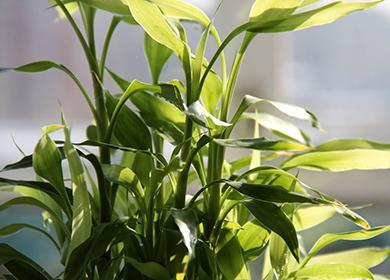 Маленький декоративный бамбук