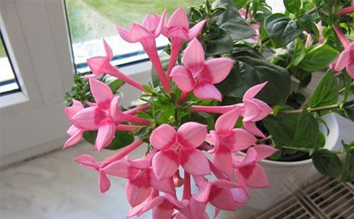 Розовые цветы бувардии