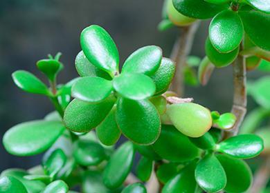 Сочные листья толстянки