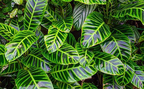 Зеленые листья дифенбахии
