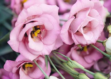 Розовые декоративные цветы