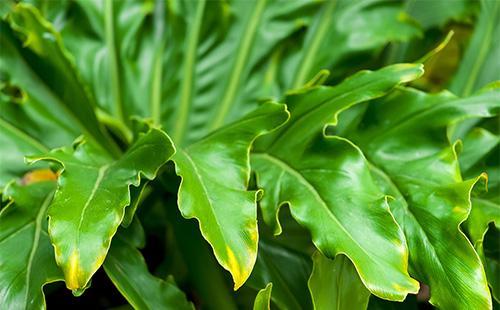 Зеленые листья филодендрона