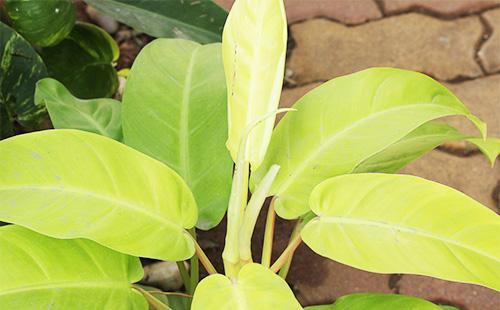 Листья филодендрона
