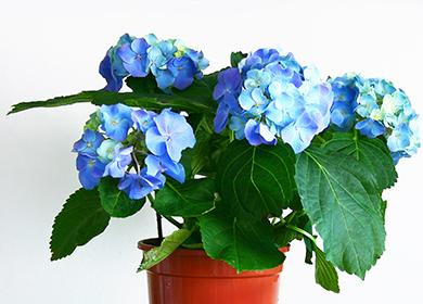 Большие голубые цветы гидрангеи