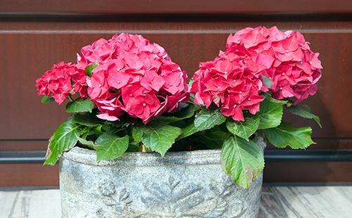 Красные цветы гортензии